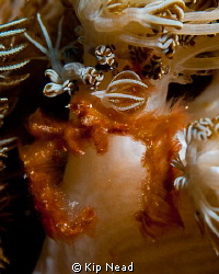 Found this orangutan crab on an anenome in a ripping curr... by Kip Nead 